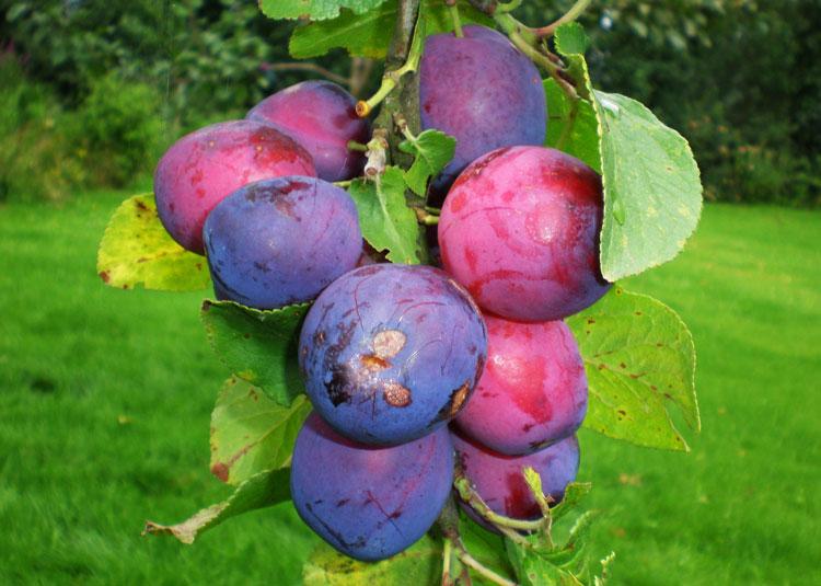 fruit pruimen pruimentijd