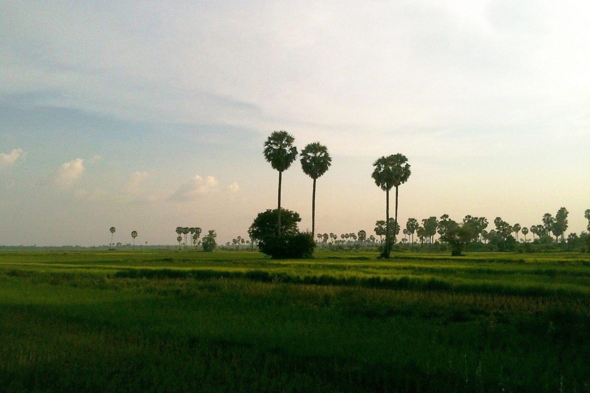 rijstvelden `Kampong Cham